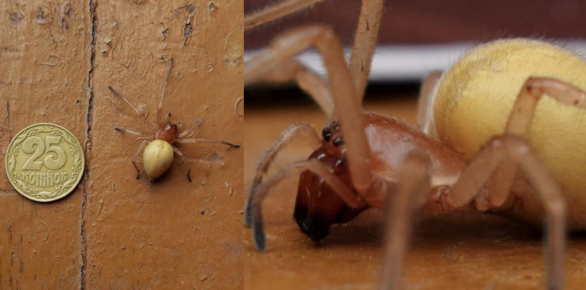 «Будьте уважні та обережні!» Українцям загрожують отруйні павуки з 4 щелепами, які стрибають і боляче кусають