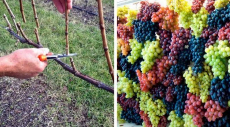 Як обрізати виноград в жовтні, щоб зібрати багатий урожай в наступному році…